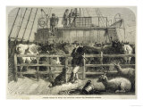 Importing Cattle on Board the Batavier a London to Rotterdam Steamship Lámina giclée
