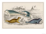 Various Species of Seals. Left: Common Seal Bottom Right: Fetid Seal Giclee Print