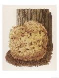 Sparassis Crispa Common Name: Cauliflower Mushroom Giclee Print