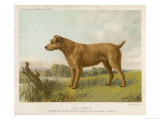 An Irish Terrier Giclee Print