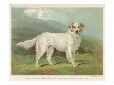 White English Setter Giclee Print