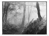 An Eerie Misty Wood with Ferns Near Esher Common Surrey England Giclee Print