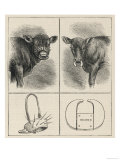 Rather Alarming-Looking Calf-Weaning Devices Giclee Print