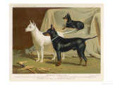 Toy Terrier, White Terrier, Black and Tan Terrier Giclee Print