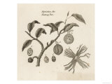 Myristica, Diagramatical Representation of the Various Parts of the Nutmeg Tree Giclee Print