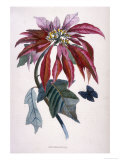 Poinsettia with Attendant Butterfly Giclee Print