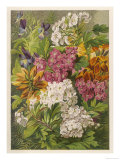 Flowers of May and June: Viola Tricolor Giclee Print
