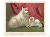 This Pomeranian Looks Quite Large Beside a Maltese Terrier Giclee Print