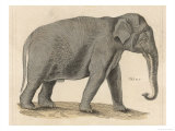 An Indian Elephant Giclee Print