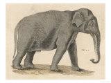 An Indian Elephant Giclee Print