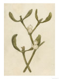 Parasitic Evergreen Plant That Attaches Itself to Trees Giclee Print