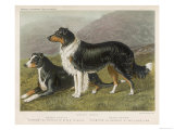 Two Collies, Rough and Smooth-Coated Tricolour Giclee Print