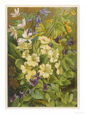 Flowers of March and April: Viola Giclee Print