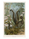 Lyre Bird Giclee Print
