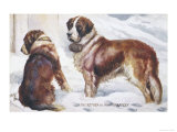 Two St. Bernard Rescue Dogs in the Alpine Snow Giclee Print