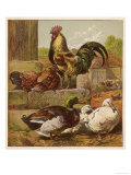 Cock and Hen Watch as Ducks Waddle by in a Farmyard Giclee Print