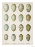 Eggs of Raven Crows Rooks and Jackdaws Premium Giclee Print