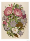 Pink Convolvulus (Bindweed) and Blue and White Campanula Medium Canterbury Bell) Depicted with Bees Giclee Print