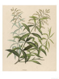 Also Called Verveine or Vervain Giclee Print