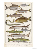 An Assortment of Fish Giclee Print