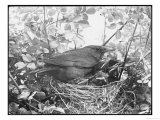 Blackbird Sits in Her Nest with Her Brood of Fledglings Giclee Print