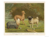 Three Toy Dogs, a Pug an Italian Greyhound and a Yorkshire Terrier Lámina giclée
