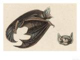Brown Vespertlion Giclee Print