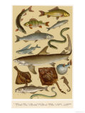 A Selection of Fish Giclee Print