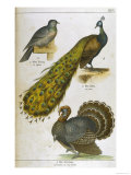 Pigeon Peacock Turkey Reproduction procédé giclée