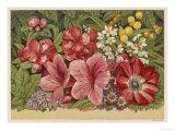 Acacia Dealbata Giclee Print