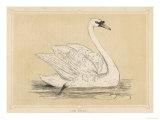 Mute Swan Reproduction procédé giclée