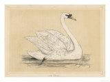 Mute Swan Giclee Print