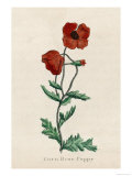 Corn Poppy or Corn Rose Poppy or Field Poppy Premium Giclee Print