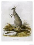 Macropus Parryi Giclee Print by Zeiter
