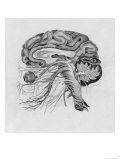 Side View of the Brain Giclee Print