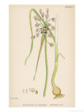 Var. Complanatum Field Garlic Giclee Print by John Edward Sowerby