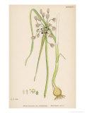 Var. Complanatum Field Garlic Giclee Print by John Edward Sowerby