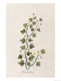 Fluellen Common or Heath Speedwell Giclee Print