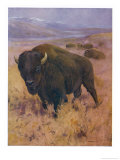 Bison Bison American Bison or Buffalo Giclee Print by Cuthbert Swan