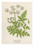 Beaked Parsley Premium Giclee Print by Mabel E. Step