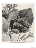 Flower and Leaves of the Quinine Plant Giclee Print by A. Tissandier
