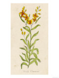 Also Known as Cheiranthus Ch. Wall Flower Giclee Print