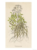 Common Valerian or Garden Heliotrope Reproduction procédé giclée