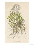 Common Valerian or Garden Heliotrope Giclee Print