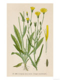Species of Hawk'S-Beard Known in France as Roof Crepis Giclee Print