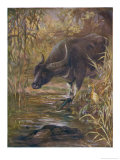Bubalis Bubalis Indian Buffalo Giclee Print by Cuthbert Swan