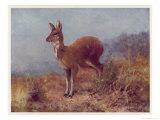 Musk Deer Giclee Print by Cuthbert Swan