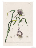 Garlic Showing the Purple Flower and the Bulb Impressão giclée