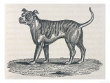 An Early Engraving of a Bulldog Giclee Print