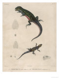 Pink-Bellied Leaf Lizard and Another Smaller Lizard Type Labelled as Trachycyclus Marmoratus Giclee Print by Victor